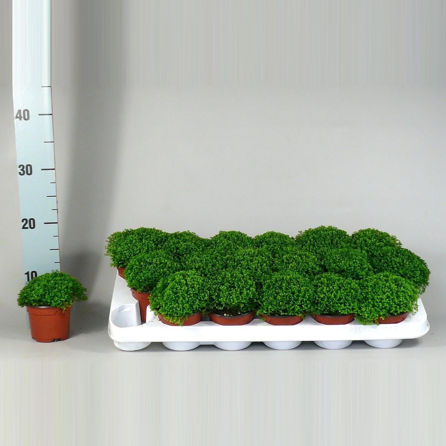 Selaginella Apoda groen