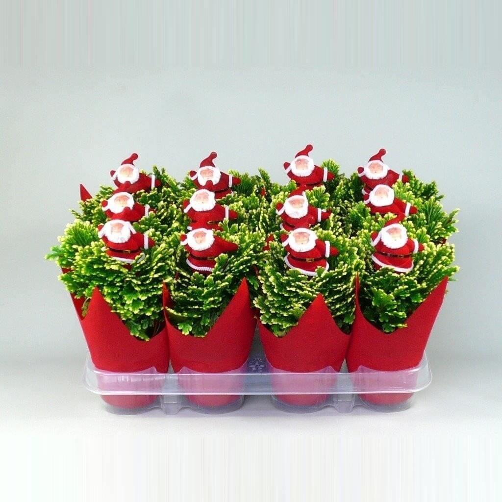 Selaginella jori kerstdeco