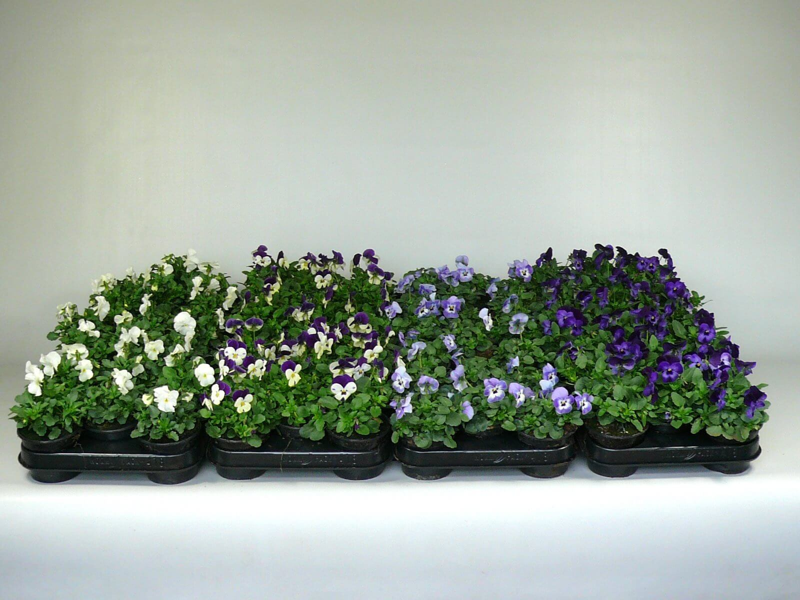 Diverse Viola Cornuta/Endurio