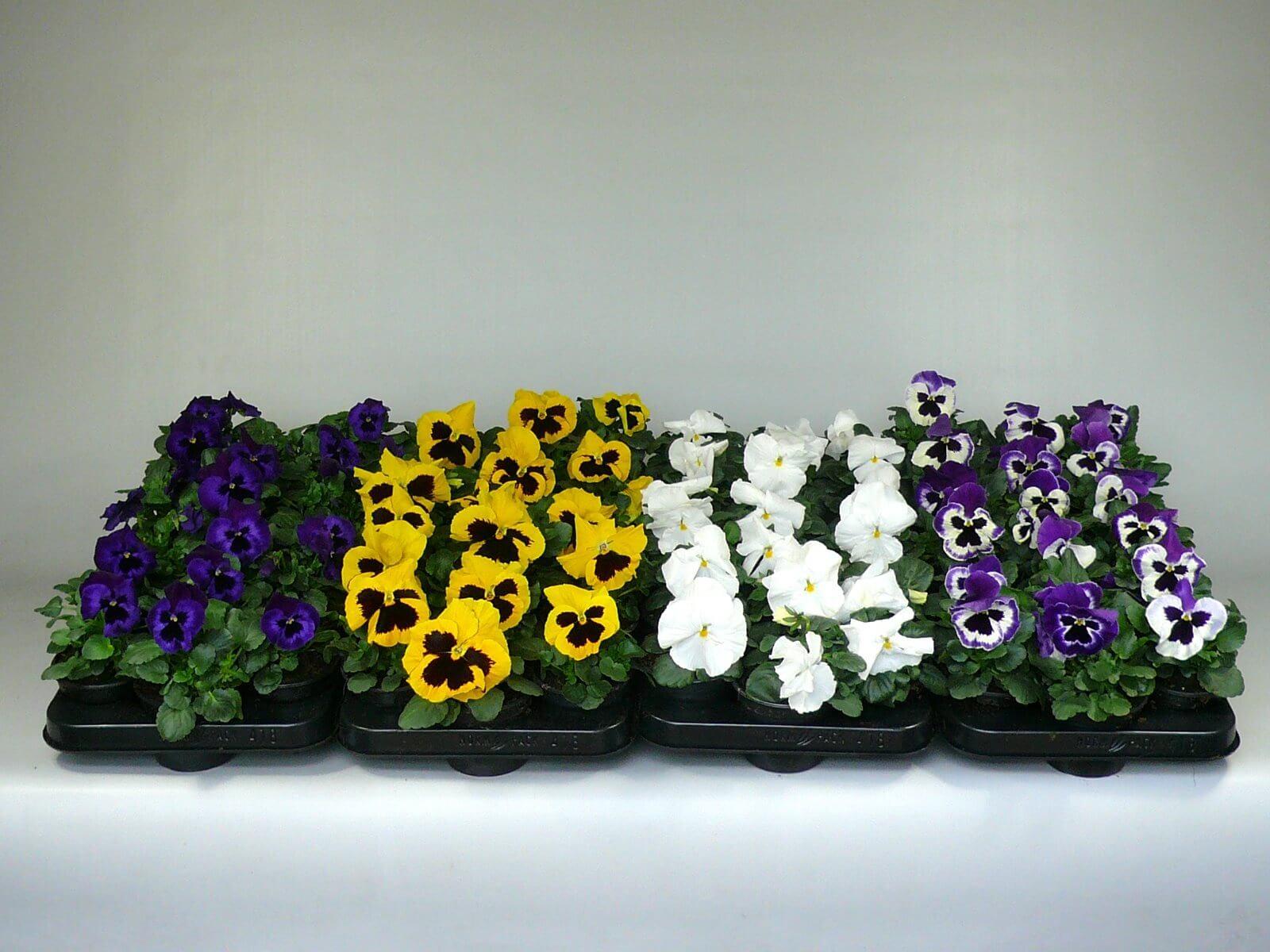 Diverse Viola F1